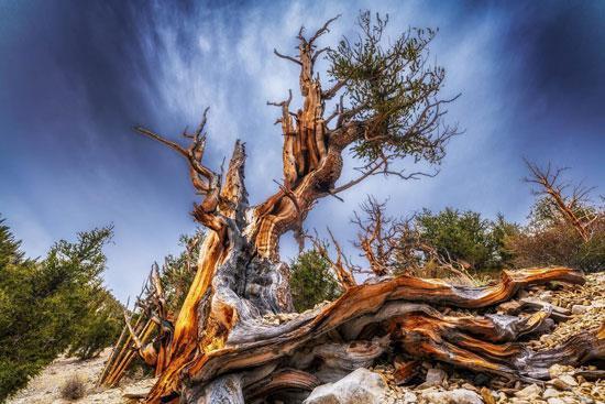 پیرترین درخت بونسای در دنیا را بشناسید
