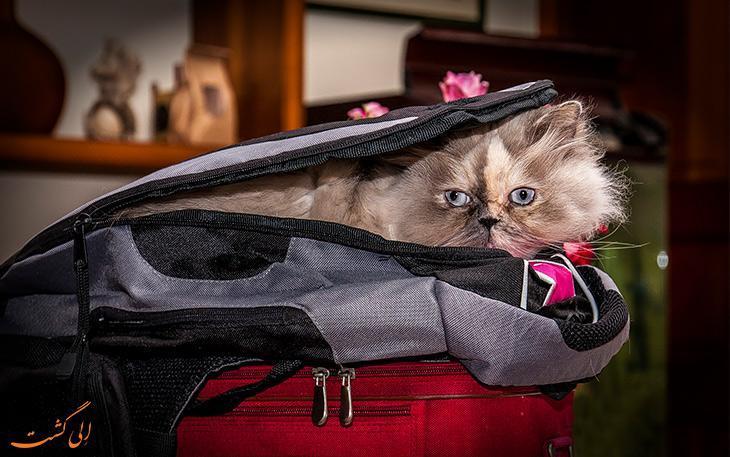 همه چیز درباره گربه پرشین، پرطرفدارترین نژاد گربه